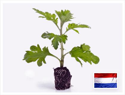 1st Mum cuttings exported to Holland