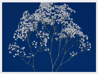 Million Stars® Gypsophila launched.