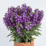 ALONIA™ Big Violet