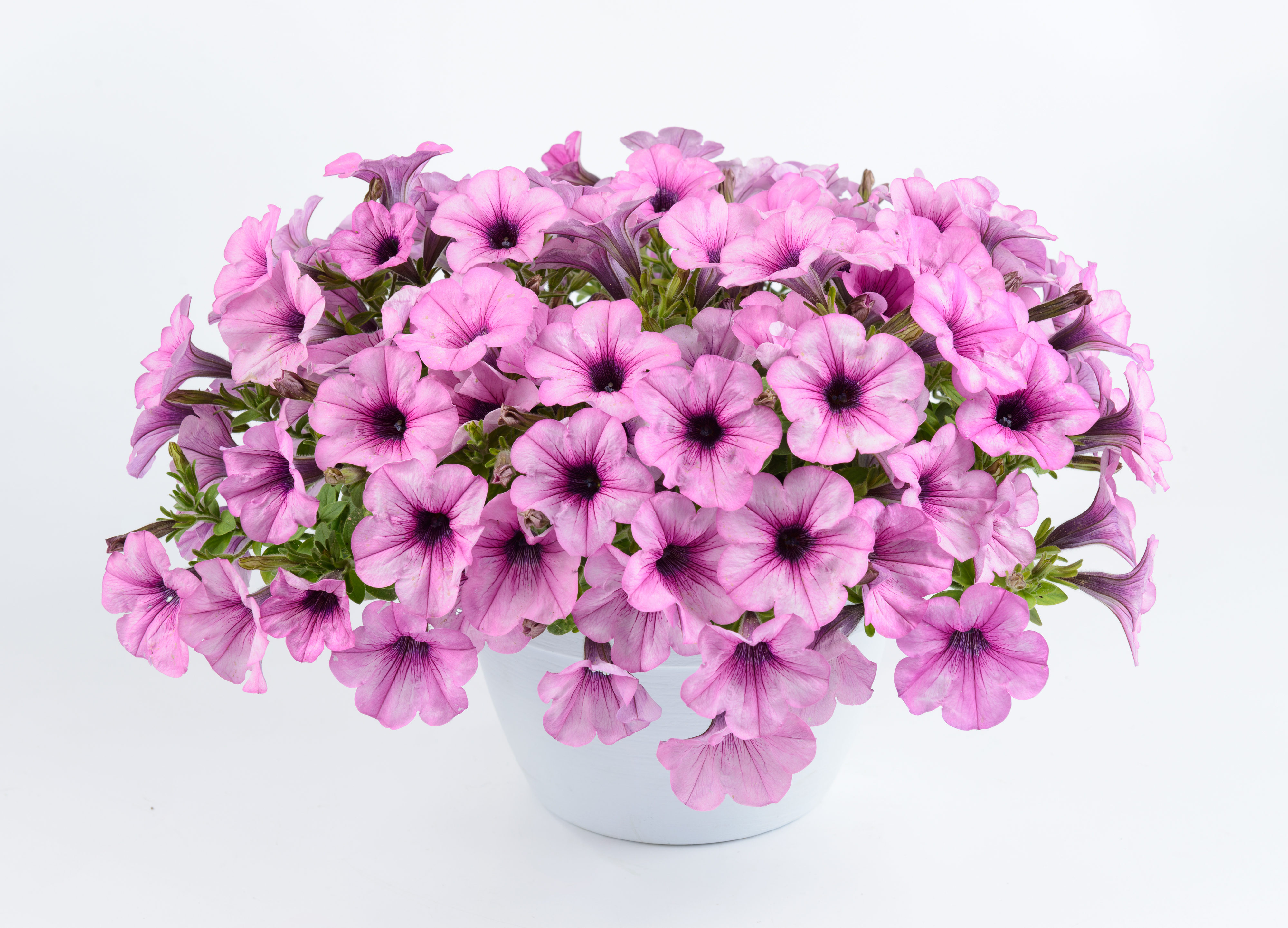Petunia Capella Pink Lace Danziger