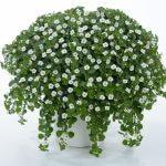 SCOPIA® Great White Improved