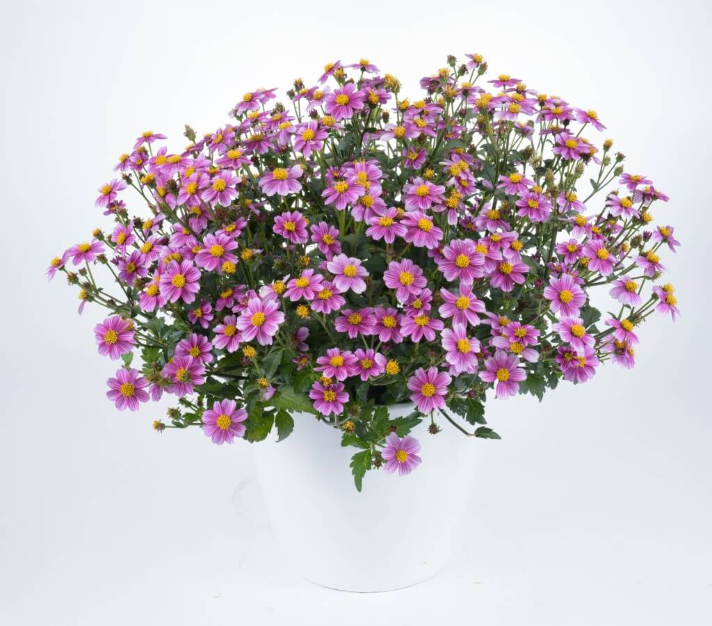 Pretty In Pink Bidens Timeless Collection Annual Flowers Danziger