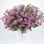 bidens-pretty-in-pink-timeless