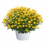 Bidens -TIMELESS COLLECTION™ Golden Empire™