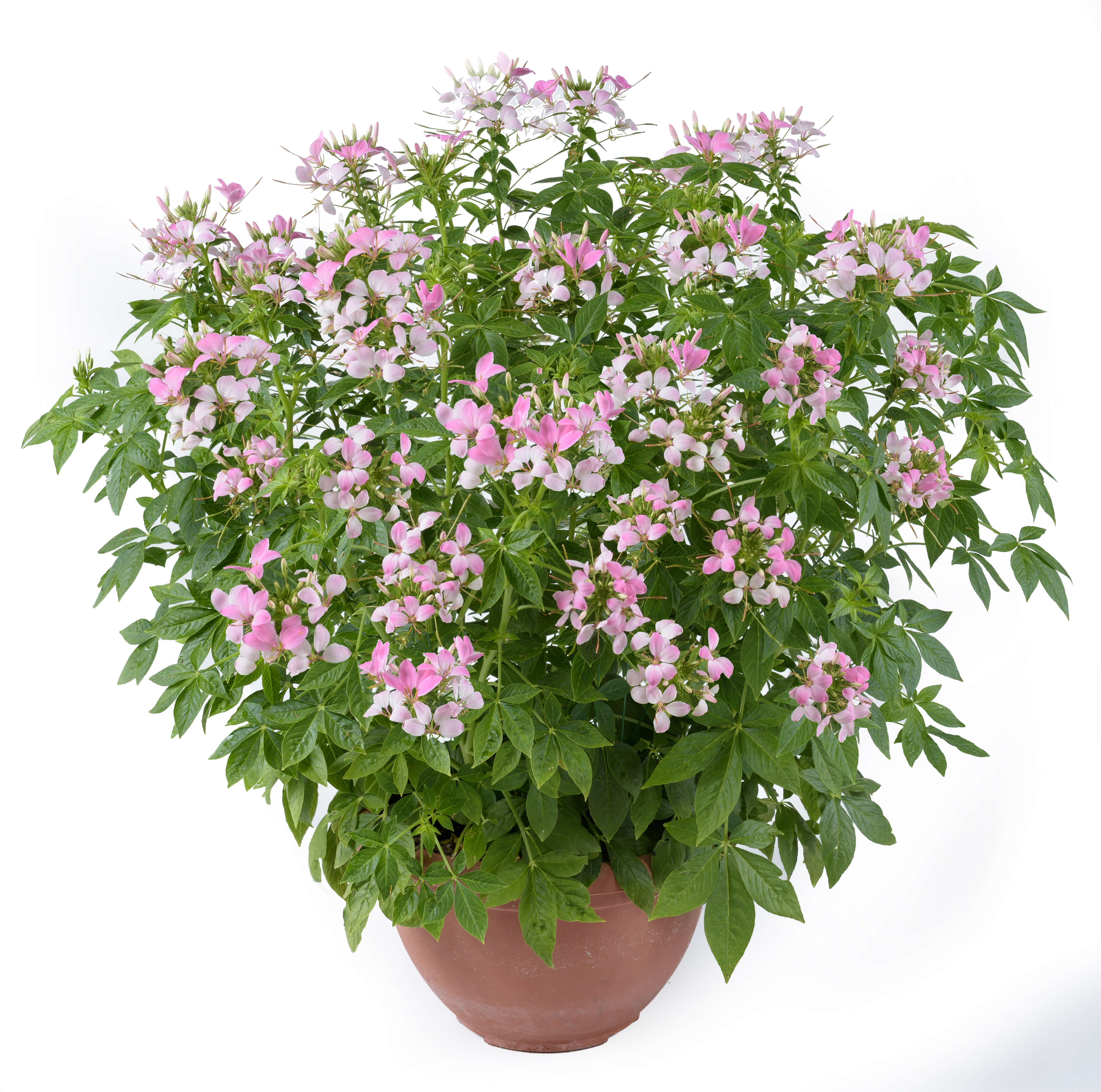 Cleome Clio Pink Lady Hight Quality Annual Flowers Danziger