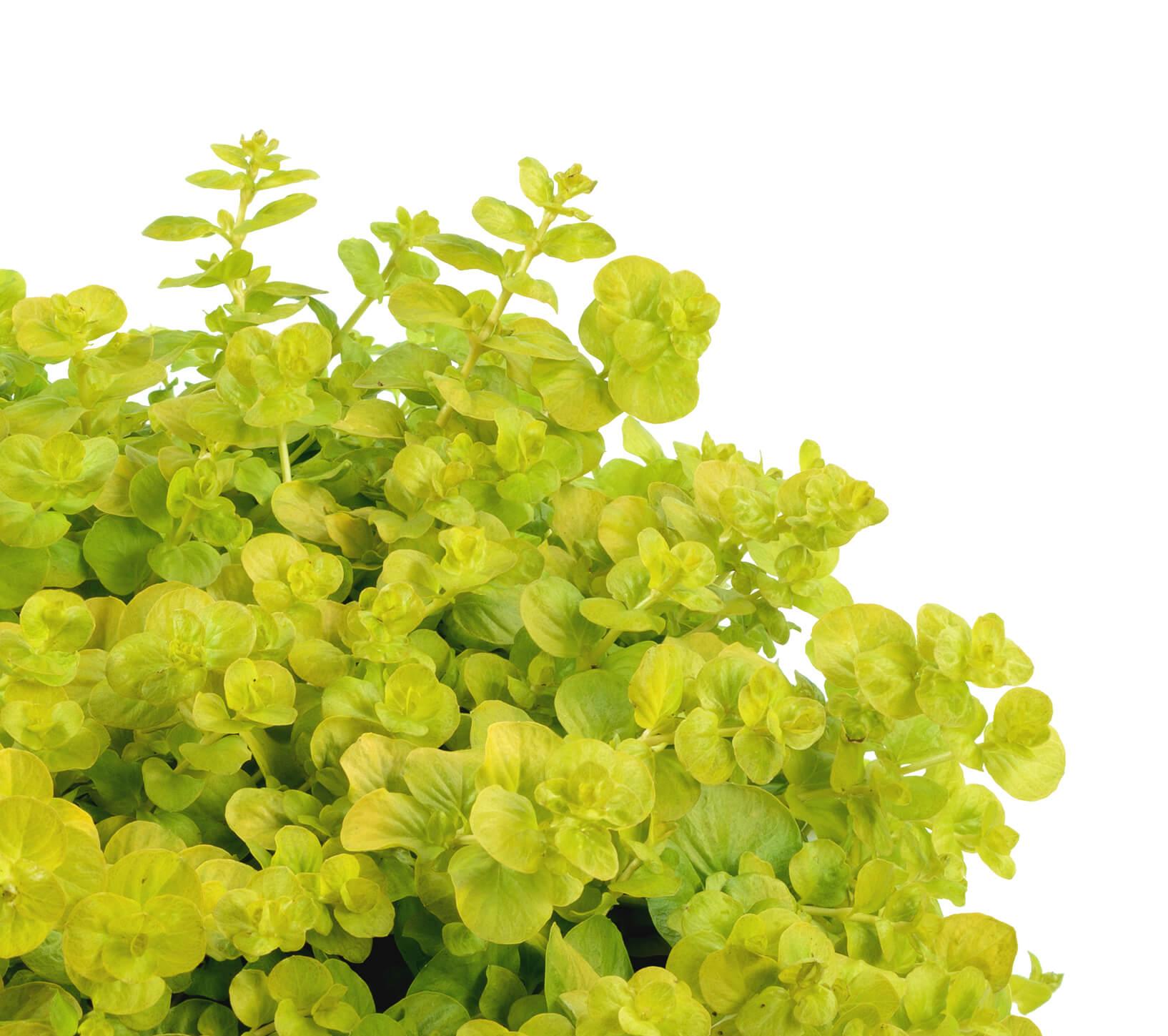"Picture of Live Lysimacchia Goldi aka Lysimachia nummularia Plant Fit 4"" Pot"