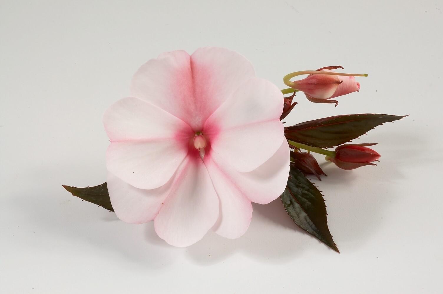 Picture of Live New Guinea Impatiens Candy Cream aka Impatiens hawkeri 'Harmony Candy Cream' Plant Fit 1QRT Pot