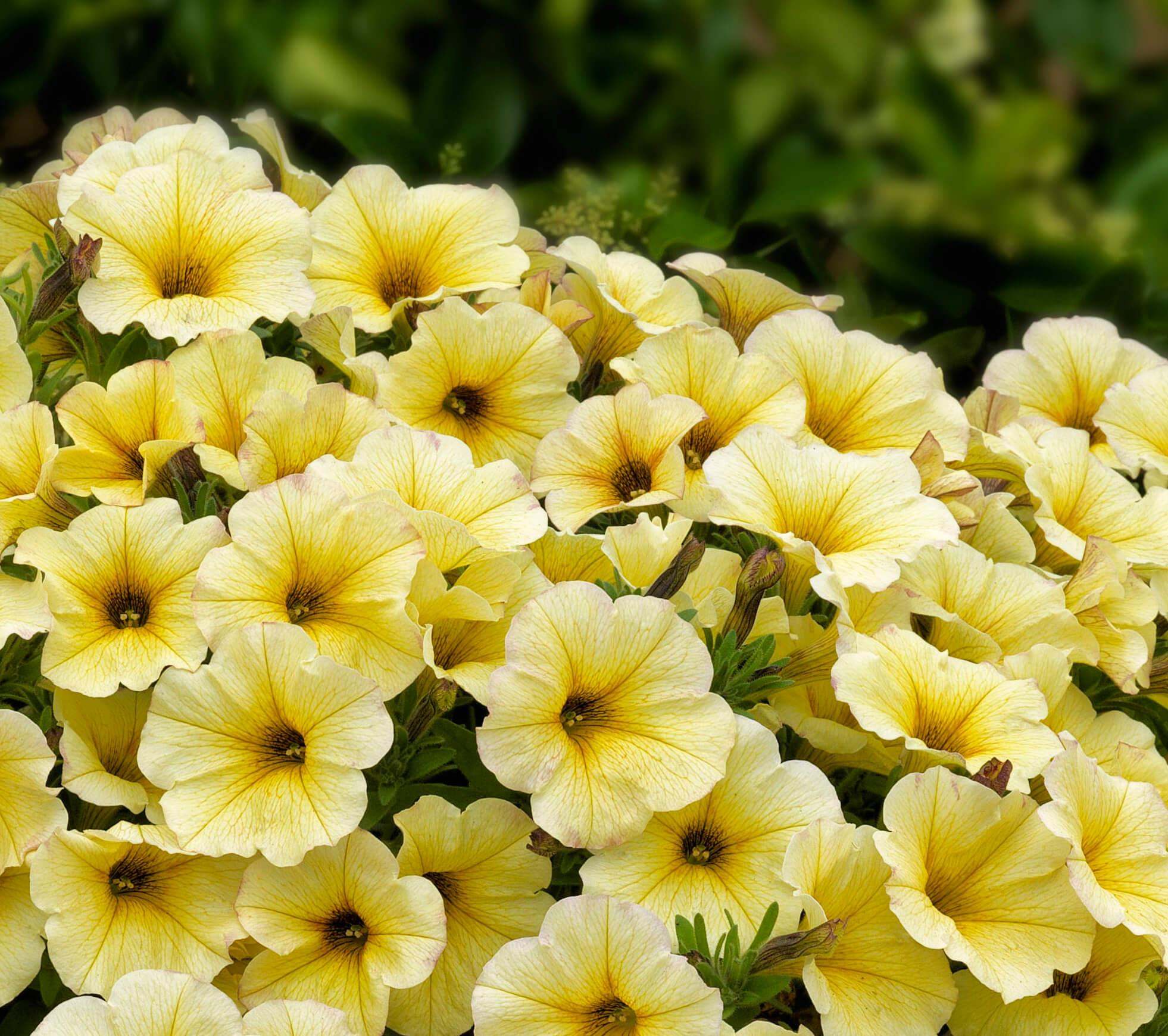 Petchoa Supercal Light Yellow Danziger