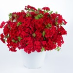 phlox-phloxstar-red