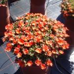Portulace Pazzaz Nano orange