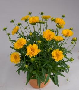 Coreopsis - Solanna Golden Crown