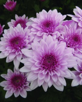 Chrysanthemum - Cuchi