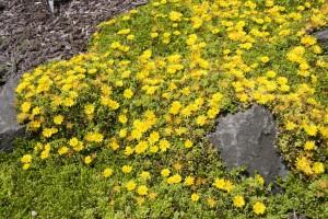 Delosperma - Yellow Ice Plant