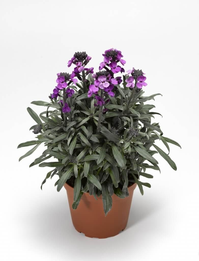 Picture of Live Wallflower aka Erysimum Bowls Mauve Plant Fit 1GAL Pot