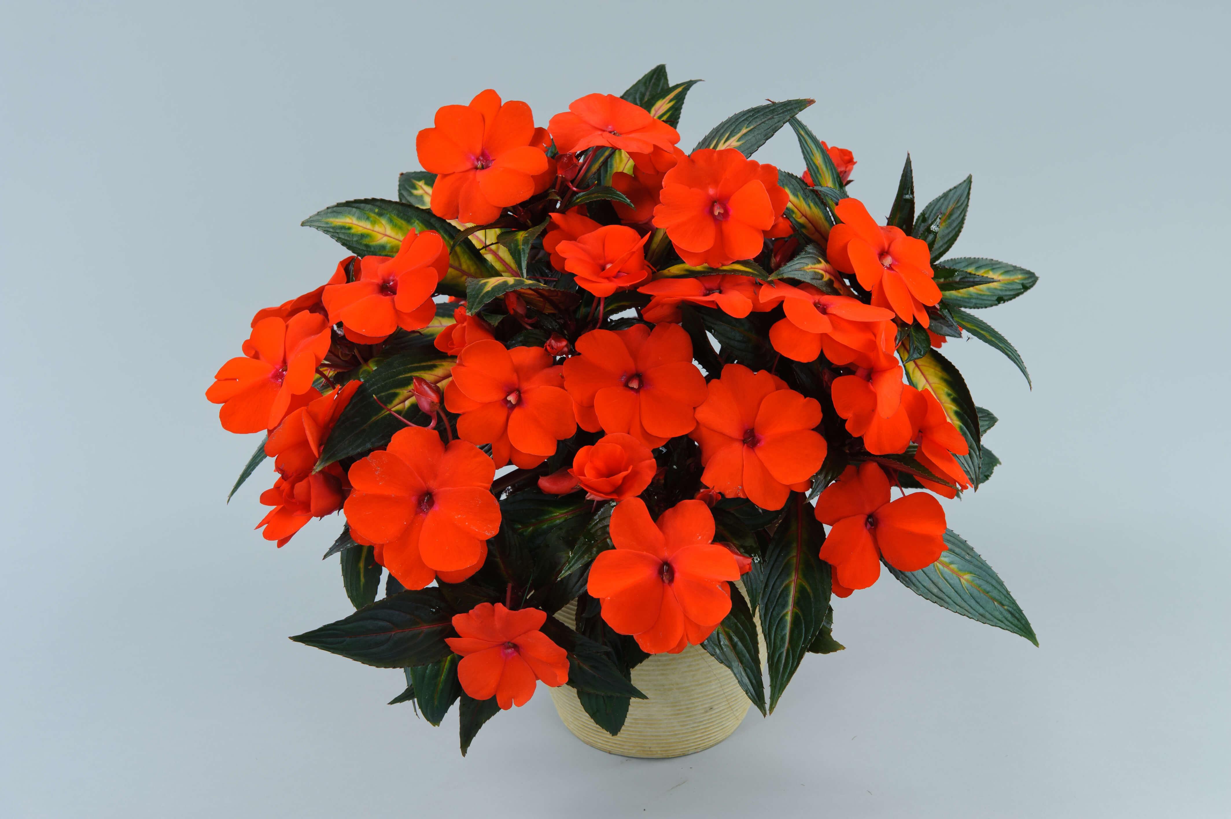 Picture of Live New Guinea Impatiens Orange aka Impatiens hawkeri Orange Plant Fit 1QRT Pot