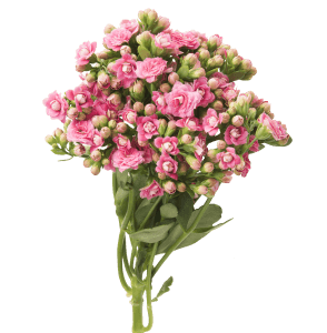 Kalanchoe Cutflowers Pink