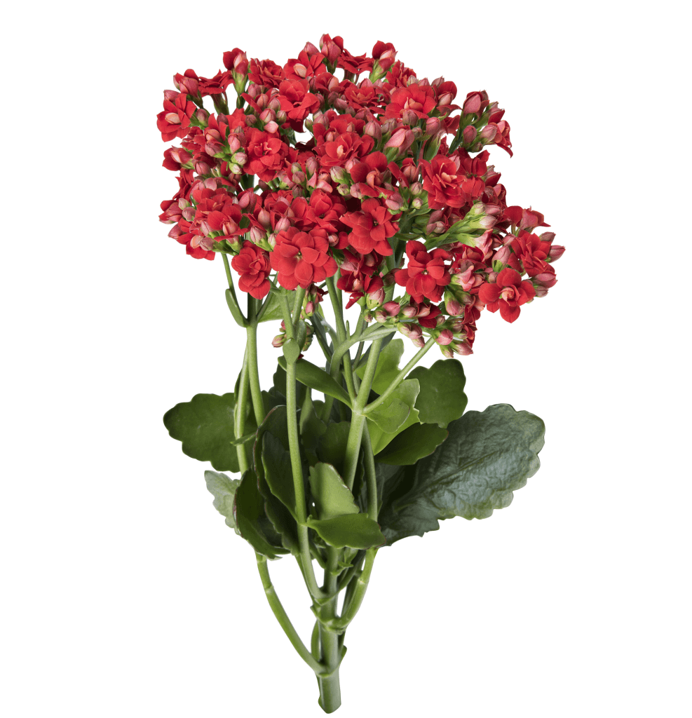 Kalanchoe Cutflowers Red Danziger
