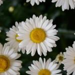 Leucanthemum - Lucille Chic