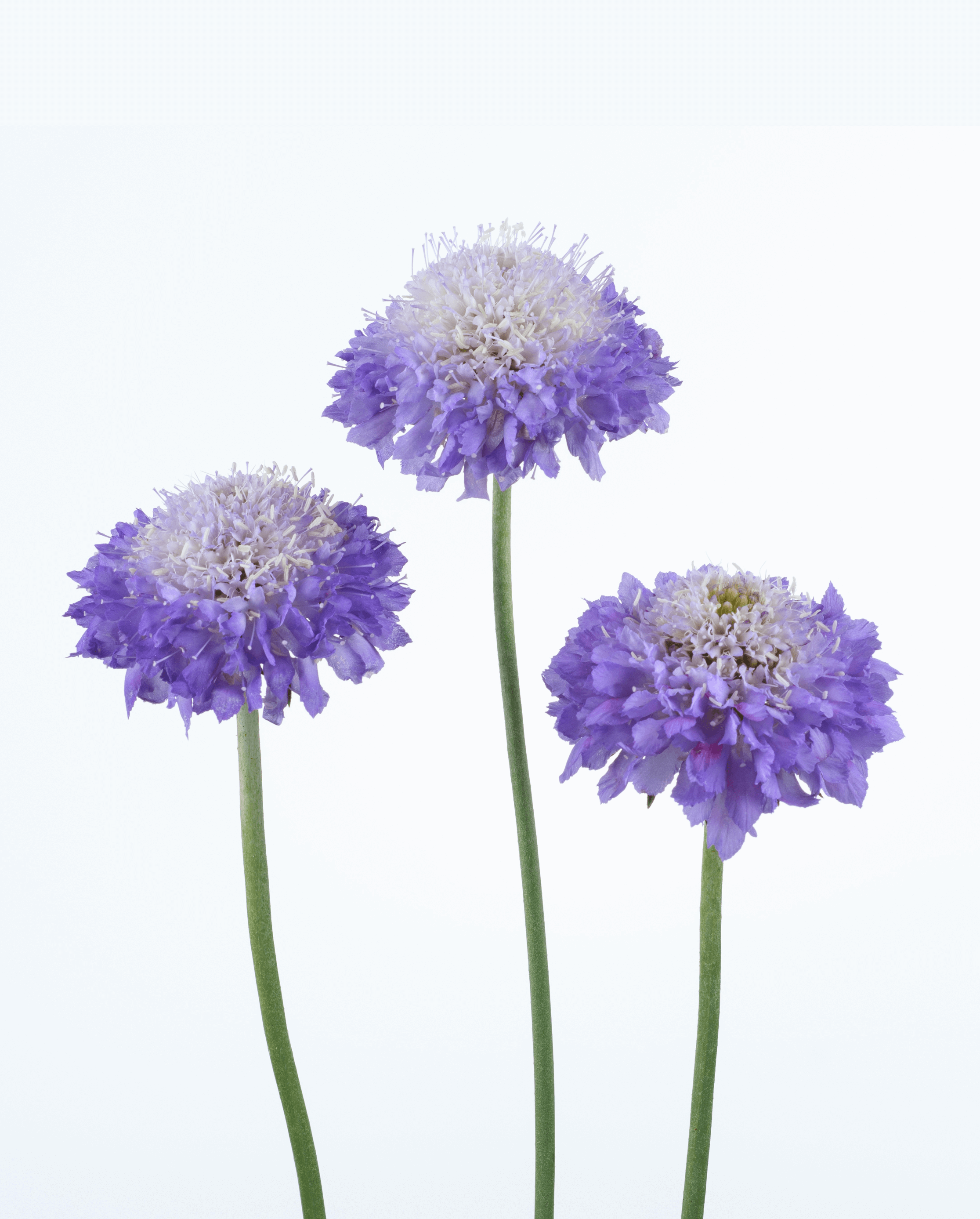 Scabiosa Scoop Series Pincushion Flower Cut Flowers Danziger