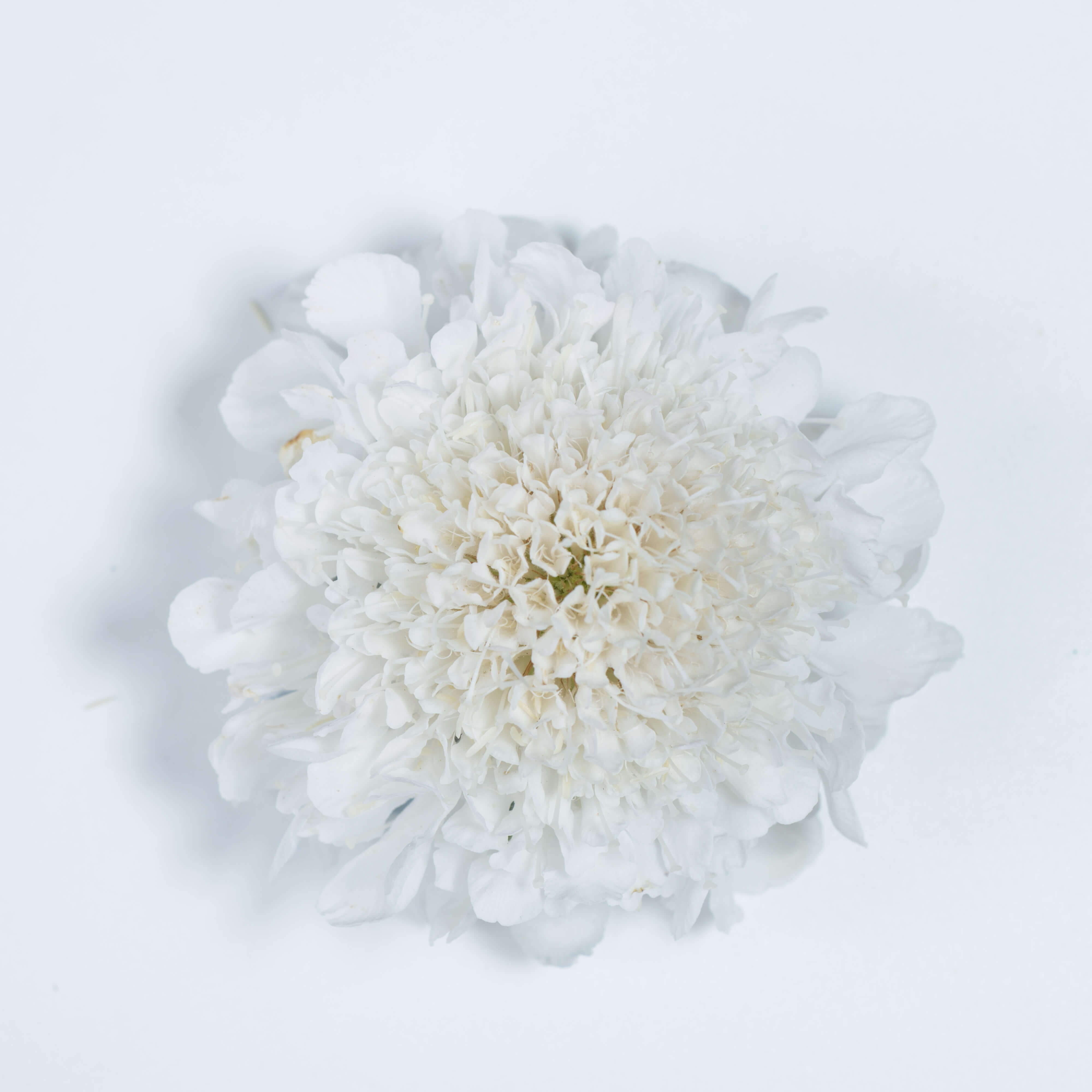 Scabiosa Milky Scoop Pincushion Flower Cut Flowers Danziger