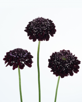Scabiosa - SCOOP® Blackberry