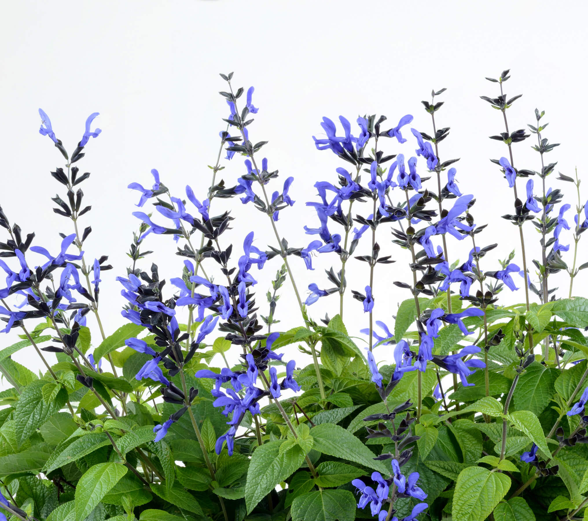 Salvia Guaranitica Danziger
