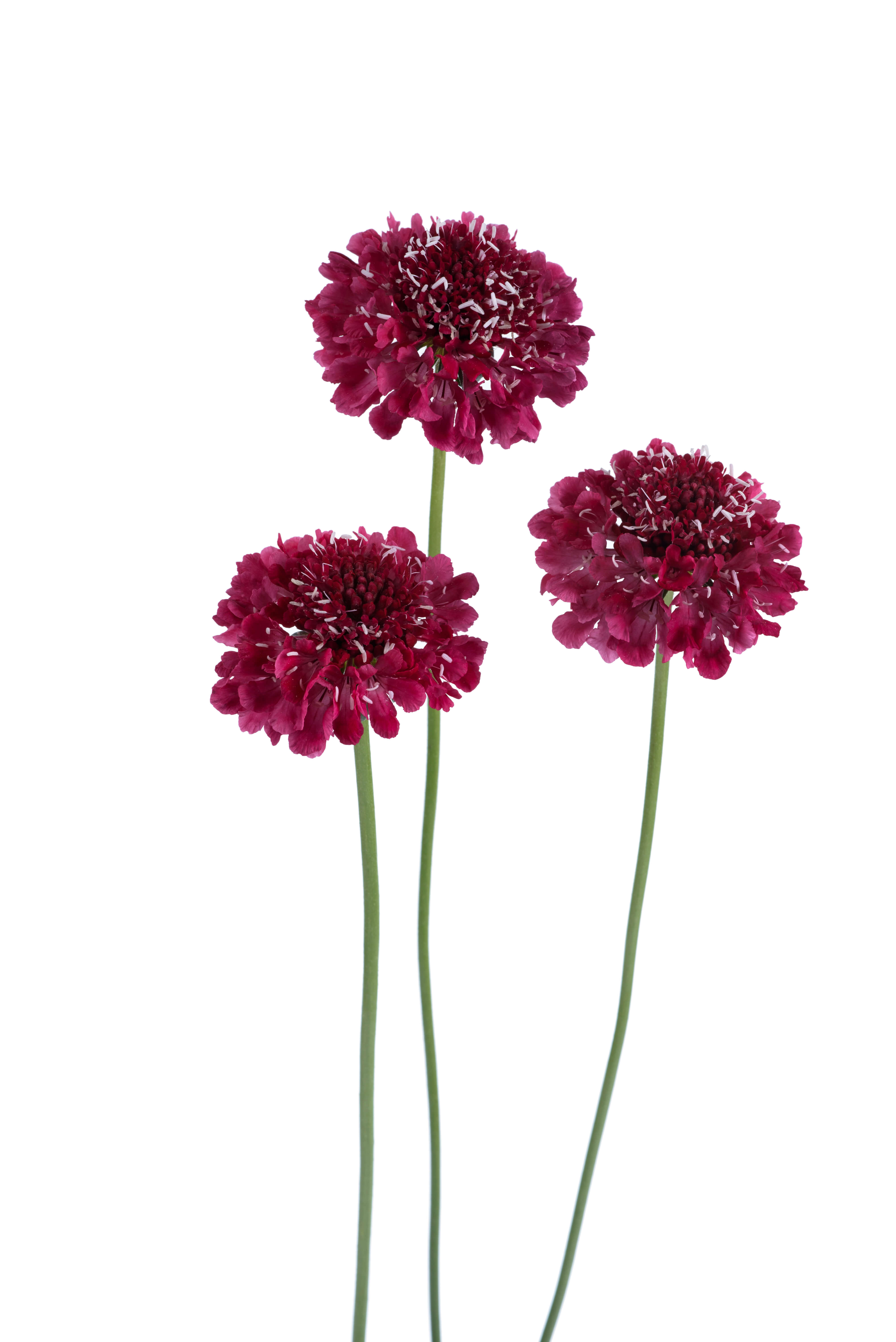Scabiosa Scoop Series Pincushion Flower Cut Flowers Danziger