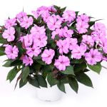 Impatiens hybrida SUN HARMONY™ Blushing Orchid