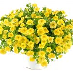 Calibrachoa - Lia™ Yellow
