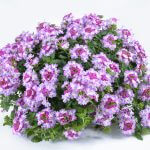 Verbena-VANESSA™Bicolor Purple