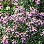 Erysmimum Sunstrong™Bicolor Purple