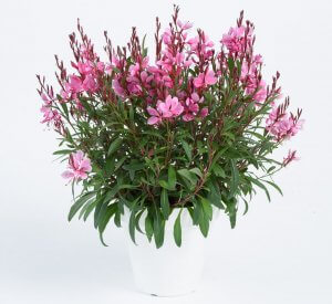 Gaura STEFFI™ Dark Rose