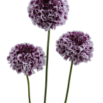 Scabiosa-FOCAL SCOOP™ Purple Lace