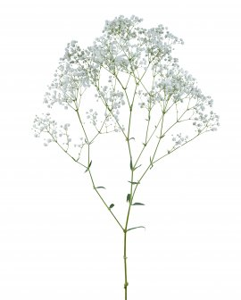 Gypsophila- My White Cosmic™