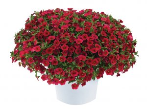 Calibrachoa Lia™ Dark Red