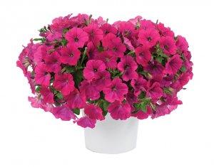 Petunia-Capella™ Neon Pink