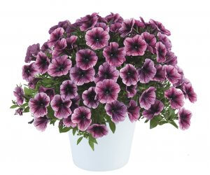 Petunia-Cascadias™ Purple Ice