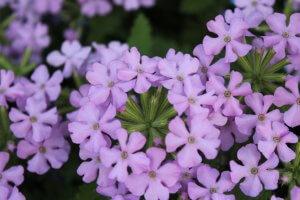 Verbena-Vanessa™ compact lavender