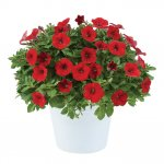 LITTLETUNIA® Bright Red