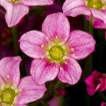 Alpino Early™ Rose